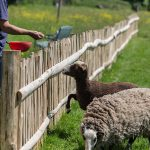 goats and sheep being fed at Midland Farm